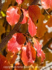 Bradford Pear Leaves in Autumn