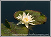 a hardy water lily at the Denver Botanical Garden