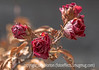 Dried Winter Roses