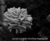 Rose; best viewed in the largest sizes