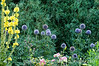 Verbascum and echinops; best viewed in the larger sizes