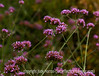 Verbena bonariensis; best viewed in the larger sizes