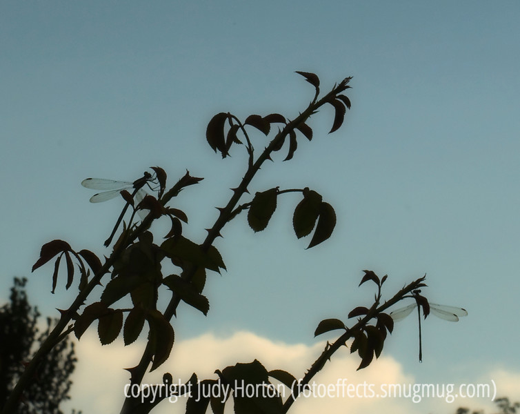 Silhouetted dragonflies on a rose bush; best viewed in the largest size