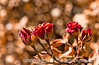 Dried Winter Rose