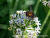 Fly on Chives