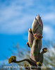 Agave in Bud