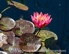 Water Lily and Aphids