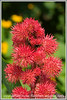 I believe this is the seed head of the castor bean plant.