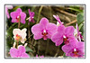 Orchids in bloom in Bellingrath Gardens in Alabama; view in the largest sizes to see the detail.