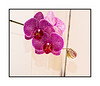 A phalenopsis orchid in bloom