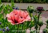 Oriental Poppy/Papaver