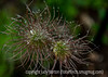 Water Drops on Clematis Seedheads