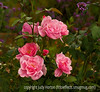 Roses and verbena bonariensis; best viewed in the largest sizes