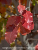 Bradford Pear, Autumn Leaves