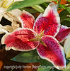 Oriental lily at the grocery store; best viewed in the larger sizes