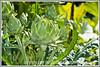 an artichoke bud