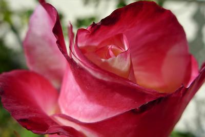 2009-03-01 rose-1000060