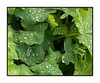 Raindrops on the leaves of alchemilla mollis; view the detail in the larger sizes.