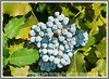 the berries of the Oregon Grape Holly or Mahonia plant