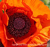Oriental poppy; best viewed in the larger sizes
