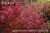 Barberry Bush in Autumn