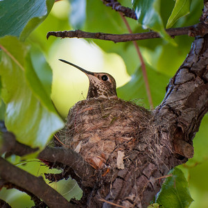 2013-04 hummingbird nest-0325