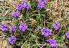 Wild Verbena in New Mexico