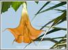 orange brugsmania flower