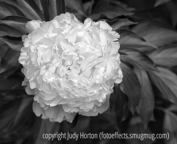 Peony; best viewed in the largest size