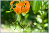 A turk's cap lily