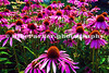 Echinacea Forest, Clyne Gardens, Mayals, Swansea, August 2010
