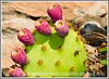 a prickly pear cactus with fruit