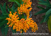 Butterfly weed (asclepias); best viewed in the larger sizes