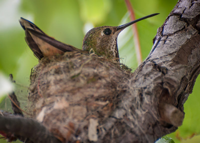 2013-04 hummingbird nest-0321