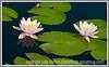 water lilies at the Denver Botanical Garden
