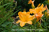 Daylilies; best viewed in the largest sizes