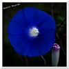 mybioscope > Nature's Gramophone - Ipomoea Nil (Morning Glory)