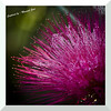 mybioscope > Calliandra Haematocephala (Red Powder Puff)