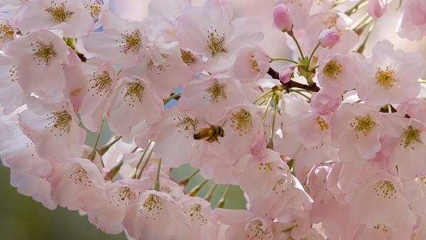 Cherry Bee