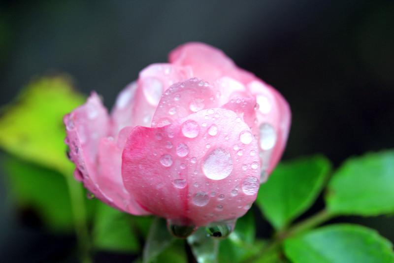Autum rose after rain
