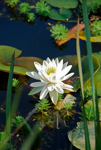 Aquatic Gardens one lotus