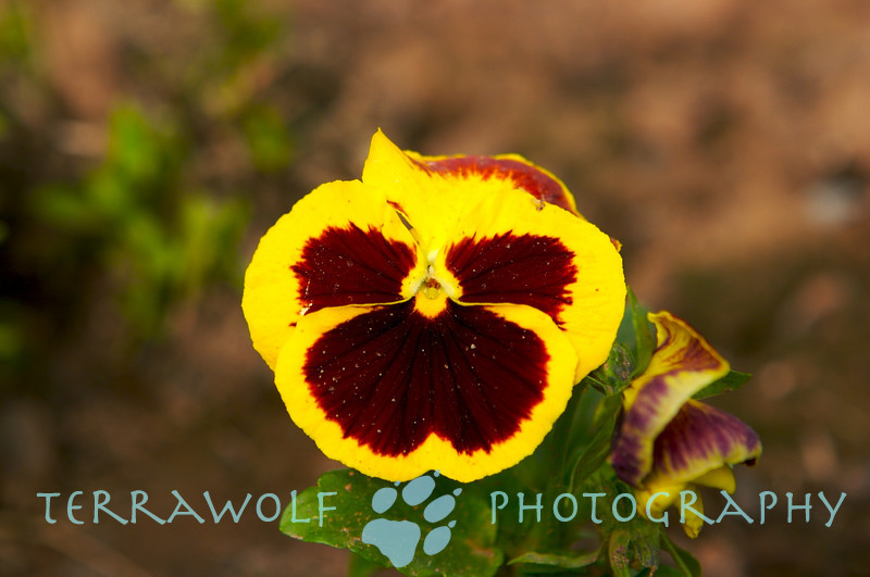 I know it's a Pansy....