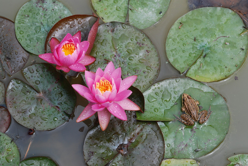 Water Lilies and Frog on Lilly Pad
