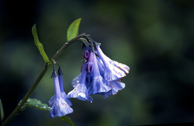 Virginia Blue Bells    926