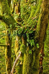 Glacier fern