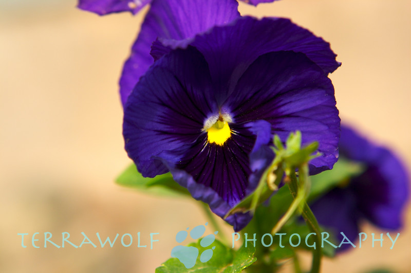 And a purple pansy too!