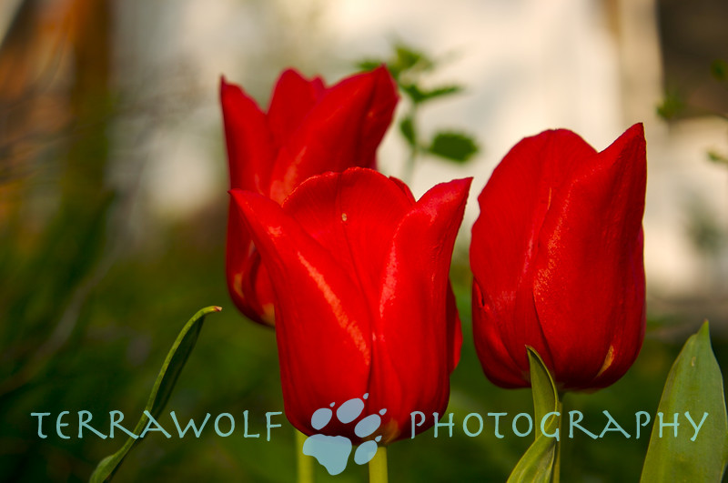 Nice tulips...