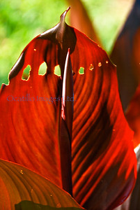 Aquatic Gardens red sentinel
