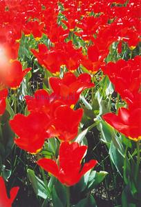 D flora tulips