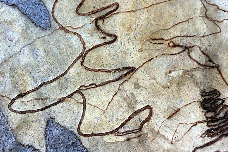 eucalypt artwork